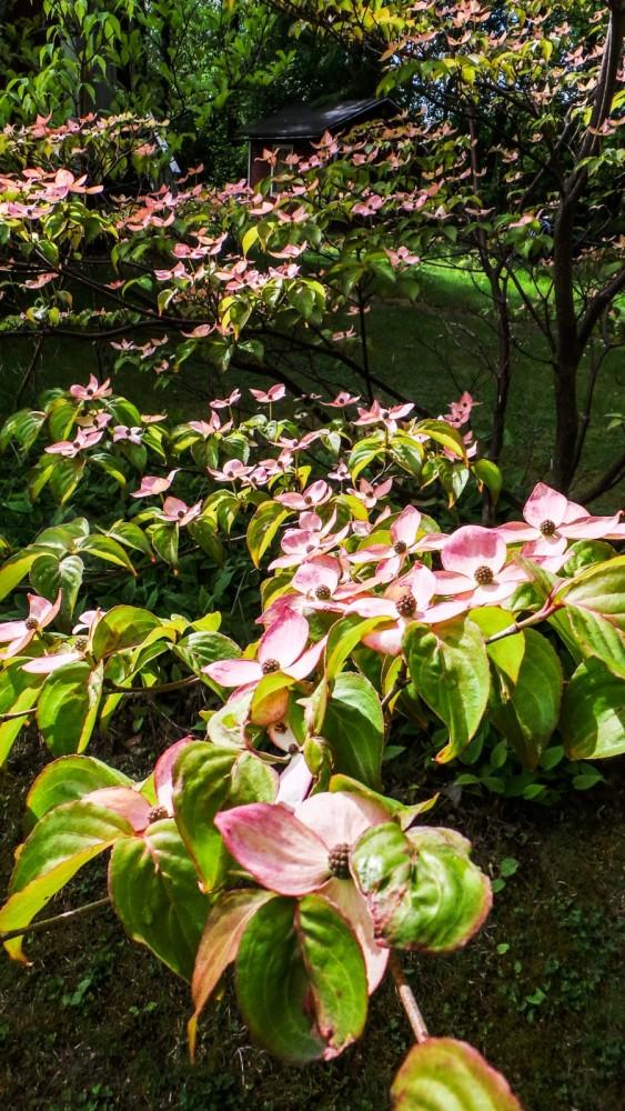 blomsterkornell-1.jpg