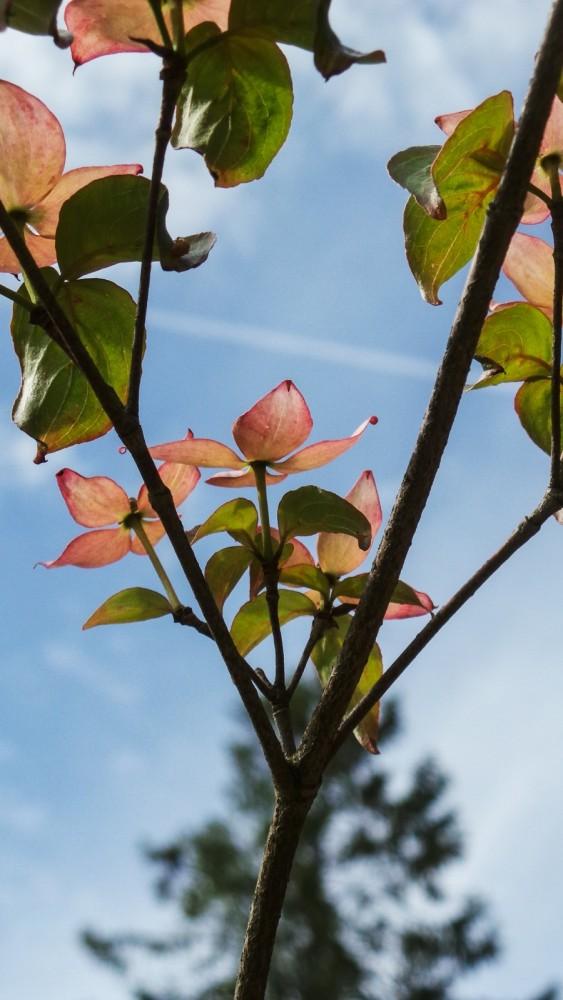blomsterkornell-3.jpg